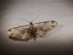 Photo: Moth 5 photo by: Enzians