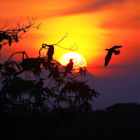 Back to Home...... by Ramesh Kallampilly - Landscapes Sunsets & Sunrises ( bird, red, nature, sunset, silhoutte )
