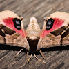 Twin-spotted Sphinx - 7821