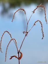 Photo: Lady's thumb (Polygonum caespitosum)
