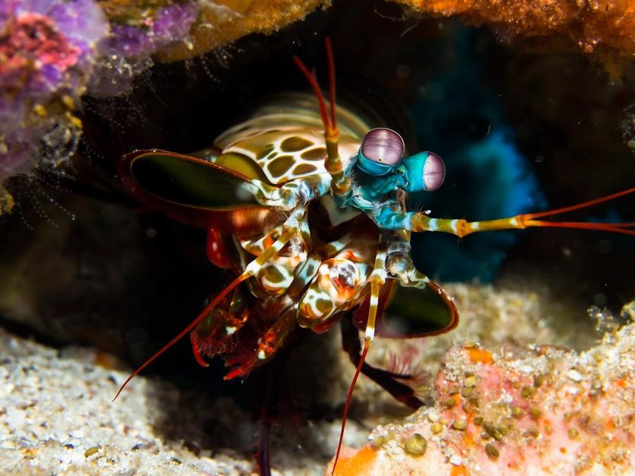 Peakaboo by Magnus Larsson - Animals Sea Creatures ( crustacean, peacock mantis shrimp, mantis shrimp, underwater, marine life, sea creatures, underwater life, ocean life )