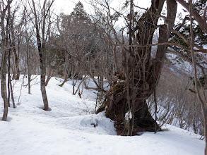 巨木を眺めながら進む
