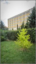Photo: Arborele pagodelor (Ginkgo biloba) - de pe Str. Andrei Muresanu, Spitalul Municipal, spatiu verde - 2017.09.24