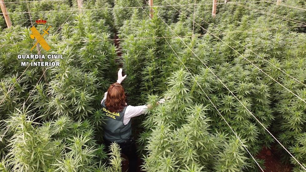 Cannabis incautado.