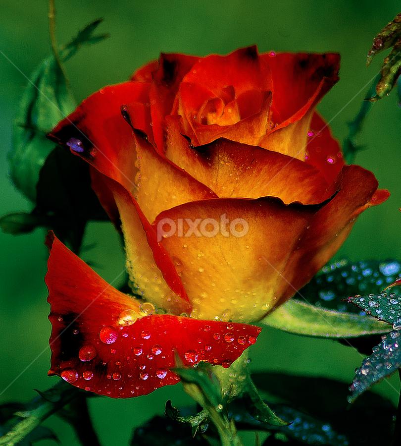by Chandra Mouli Roy Chowdhury - Nature Up Close Flowers - 2011-2013