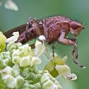 Heleomyzid fly
