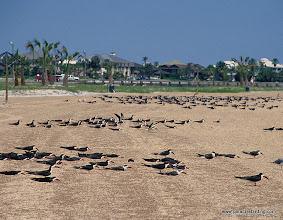 Photo: Black Skimmers, upper Texas Coast