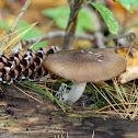 Pluteus Mushroom