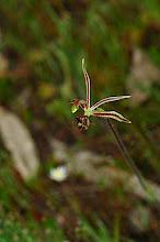 Photo: Caladenia barbarossa (Common Dragon Orchid)