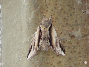 Photo: 13 Aug 13 Middle Pool: Amazingly another specimen on the same lamp! (Ed Wilson)