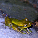 Meadow Tree Frog
