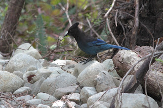 Photo: Uclulet - Wild Pacific Trail - Blue Jay