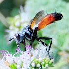 Cylindromyia