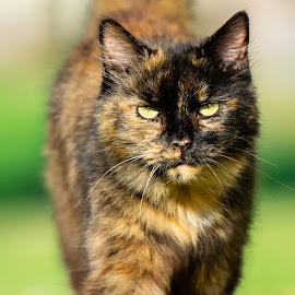 Strutting  by Clay Harvey - Animals - Cats Portraits ( color, nature, cat, up close, portrait,  )
