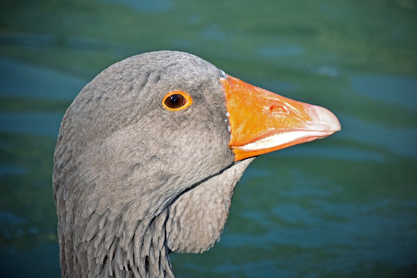 Angry goose di esserre