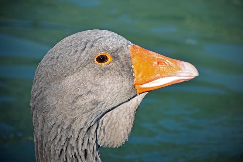 Angry goose di utente cancellato