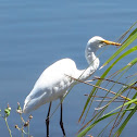 Eastern Great Egret (with non-breeding plumage)