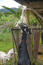 Photo: Happy goats feeding at Vang Vieng Organic Farm