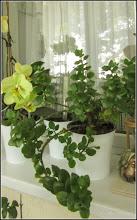 Photo: Planta zambetului (Kalanchoe) - din Turda, Calea Victoriei, Nr.5, ap.8 - 2019.05.26