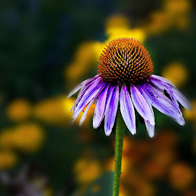 Lonely by Irene Orloff - Nature Up Close Flowers - 2011-2013 ( cosmo, flower )