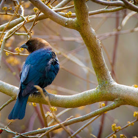 Brown Headed Cowbird by Satyam Muench - Animals Birds ( north american birds, cowbird, song birds, birds of illinois, migrational birds of illinois, brown headed cowbird )