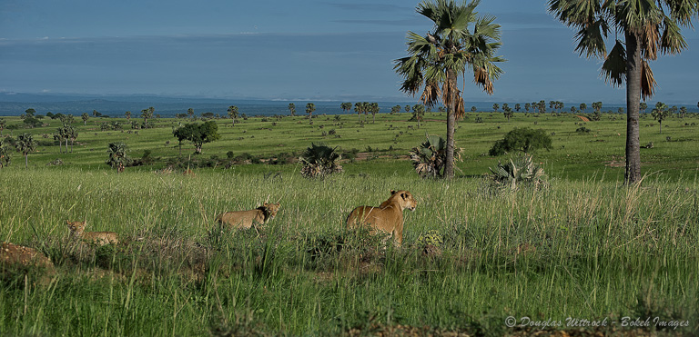 Photo: Mother lion, 2 cubs