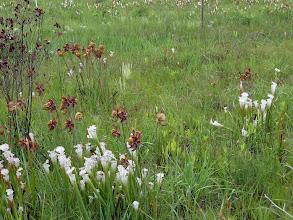Photo: Sarracenia leucophylla and Drosera filiformis ssp. tracyi at Splinter Hill Bog Preserve in Alabama.