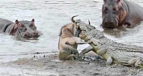 Hippos save a wildebeest from the jaws of crocodiles.