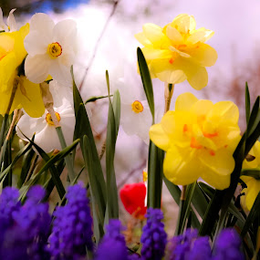 by David  Clayton - Flowers Flower Gardens ( spring, spring flowers, close up, flowers, gardens, springtime, yellow, garden, colorful,  )