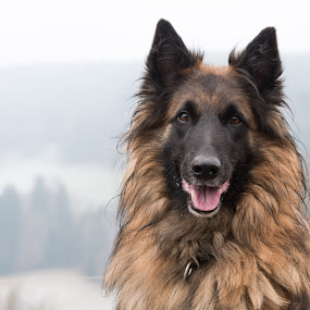 Arkay, Tervueren Male by Crazy  Photos - Animals - Dogs Portraits (  )