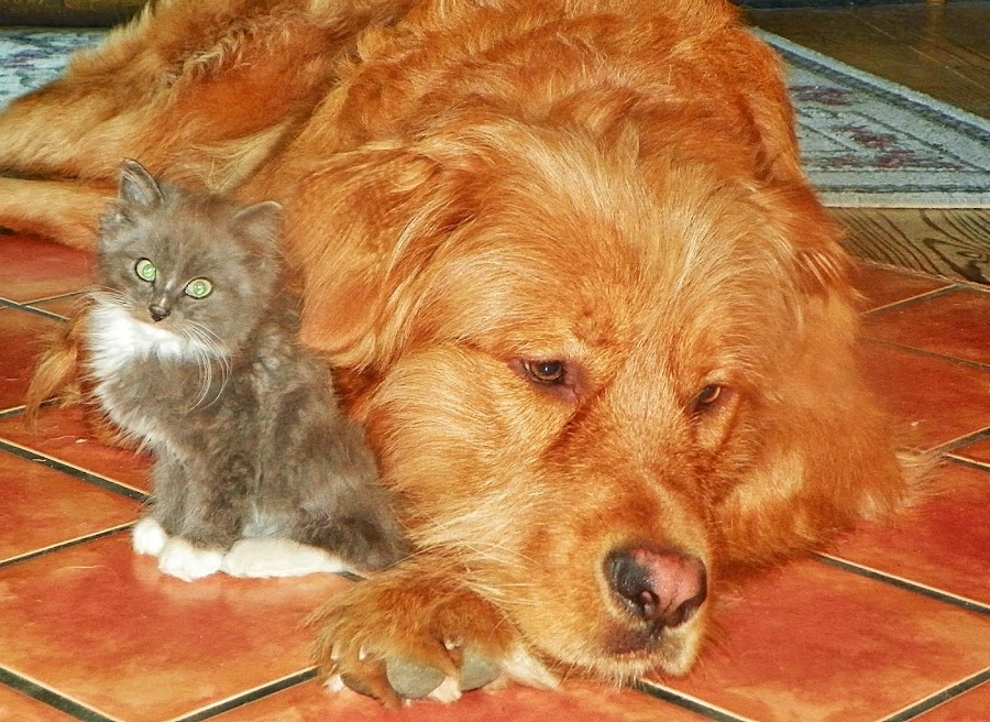 Big brother by Brenda Baird - Animals - Cats Kittens (  )