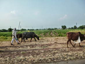 Photo: A farmer and his partners working hard. Cows and buffalos not only play an important role in the farms in the countryside, but also well respected in the city traffic! 13th November updated (日本語はこちら) - http://asksiddhi.in/blog/display/38/view