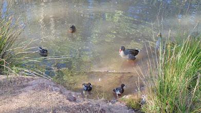 Photo: Ganso y Pollas de agua
