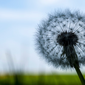 Dandelion by Tom Mat - Nature Up Close Other plants ( wildflower, nature, wild flower, dandelion, flower )