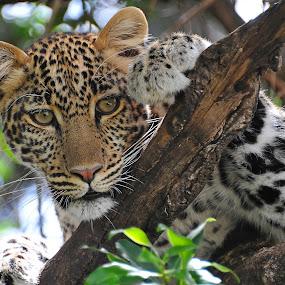 Leopard in Masai Mara by Kjetil Salomonsen - Animals Lions, Tigers & Big Cats