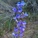 Tall Meadow Larkspur