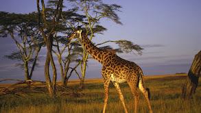 Giraffe Attack thumbnail
