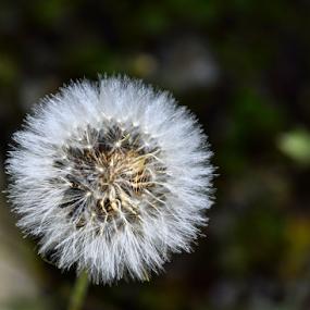 White hairy flower by Anastasis Agathokleous - Flowers Single Flower ( hairy, spring, white flower, white, nature, single flower, nature up close, flower,  )