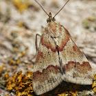 Rufous-banded Crambid - 4826