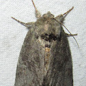 Saddled Prominent Moth