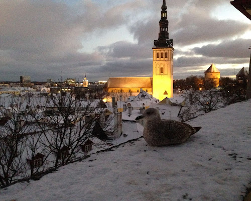 A bird overlooks the Old City in Tallinn Estonia