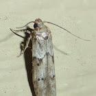 Scavenger Moth