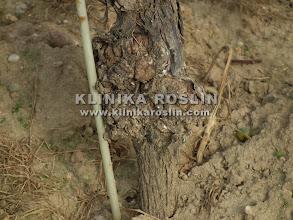 Photo: Rak bakteryjny - Agrobacterium vitis