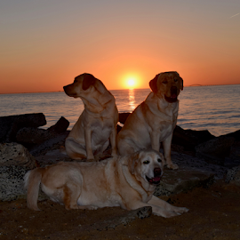 sunset at the beach by Donna Sepe - Animals - Dogs Portraits ( sunset, beach, dogs, lab, yellow lab,  )