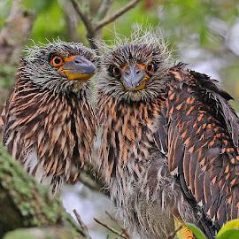 Heron Twins! by Anthony Goldman - Animals Birds ( nature, bird, night, juvenile, riverview, nest, florida., heron, wild, yellow crowned,  )