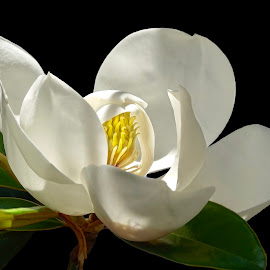 Magnolia Magnificant by Joan Sharp - Flowers Single Flower ( dark backgroundd, magnolia, green leaves, delicate lighting, yellow center )