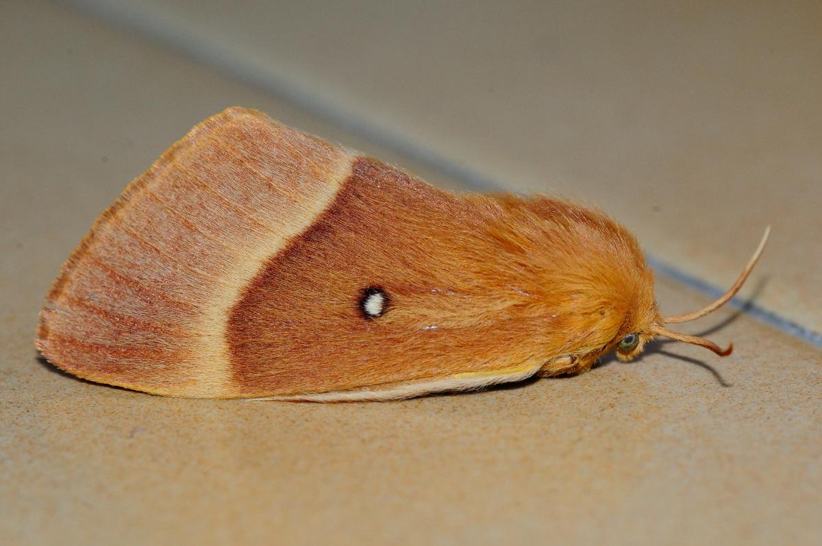 Oak Eggar; Bómbix de la Encina