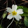 Common primrose (πασχαλούδα)
