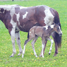 Horse and Foal by Jaliya Rasaputra - Animals Horses