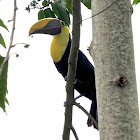 Chestnut-mandibled Toucan or Swainson's Toucan